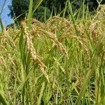 「ハマソウファーム」の自然栽培米