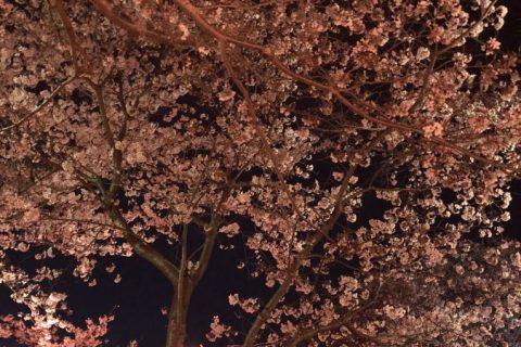 風頭公園(夜桜編)